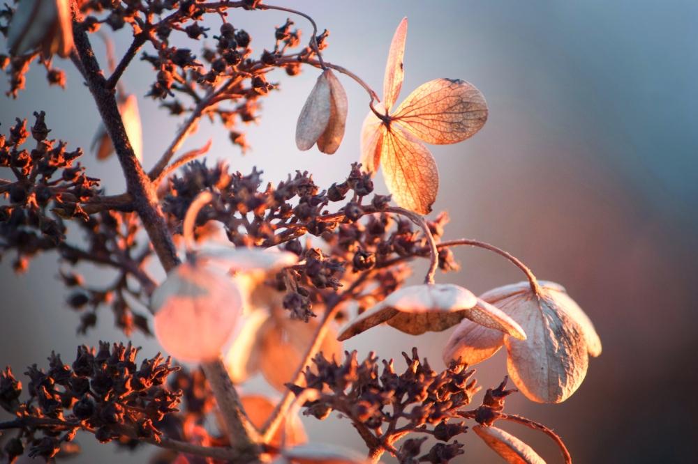 Hydrangea-orange